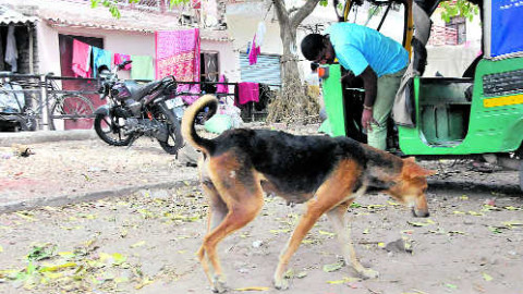 Stray Dogs  Bite Gets Deadly Total 69 Hurt In Chandigarh