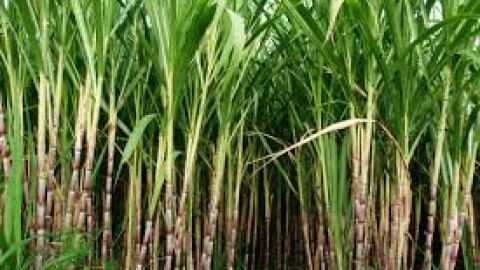Punjab Government Gave Final Consent To Bailout Package For Sugar Mills