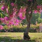 Bougainvillea-Garden-in-Chandigarh2