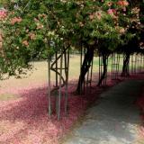 chandigarh-gardens-bougainvillea