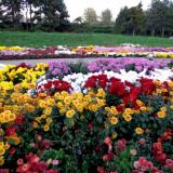 chrysanthemum-flower-bed-ehgcq47i